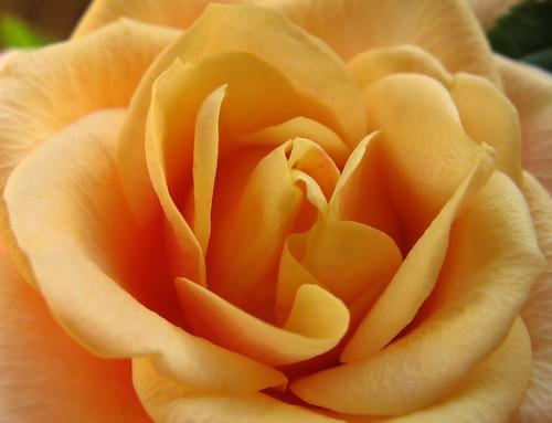 flower macro rose closeup canon maria peach mini images sue excellence laakso naturesfinest kukka ruusu mywinners canonpowershota710is marialaakso goldstaraward excapturemacro sue323