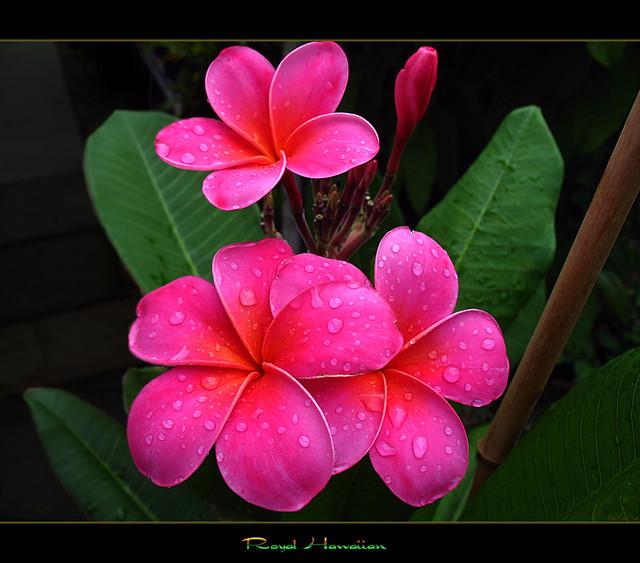 b01ca1607 Hawaiian Flowers - The Plumeria Royal Hawaiian | Talk about … | Flickr