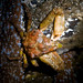 Flickr photo 'Sharpnose Crab' by: Ken-ichi.