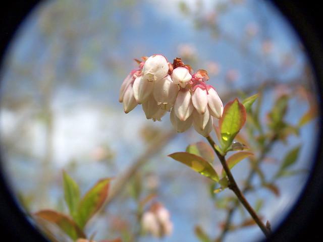 Blueberry Bush...