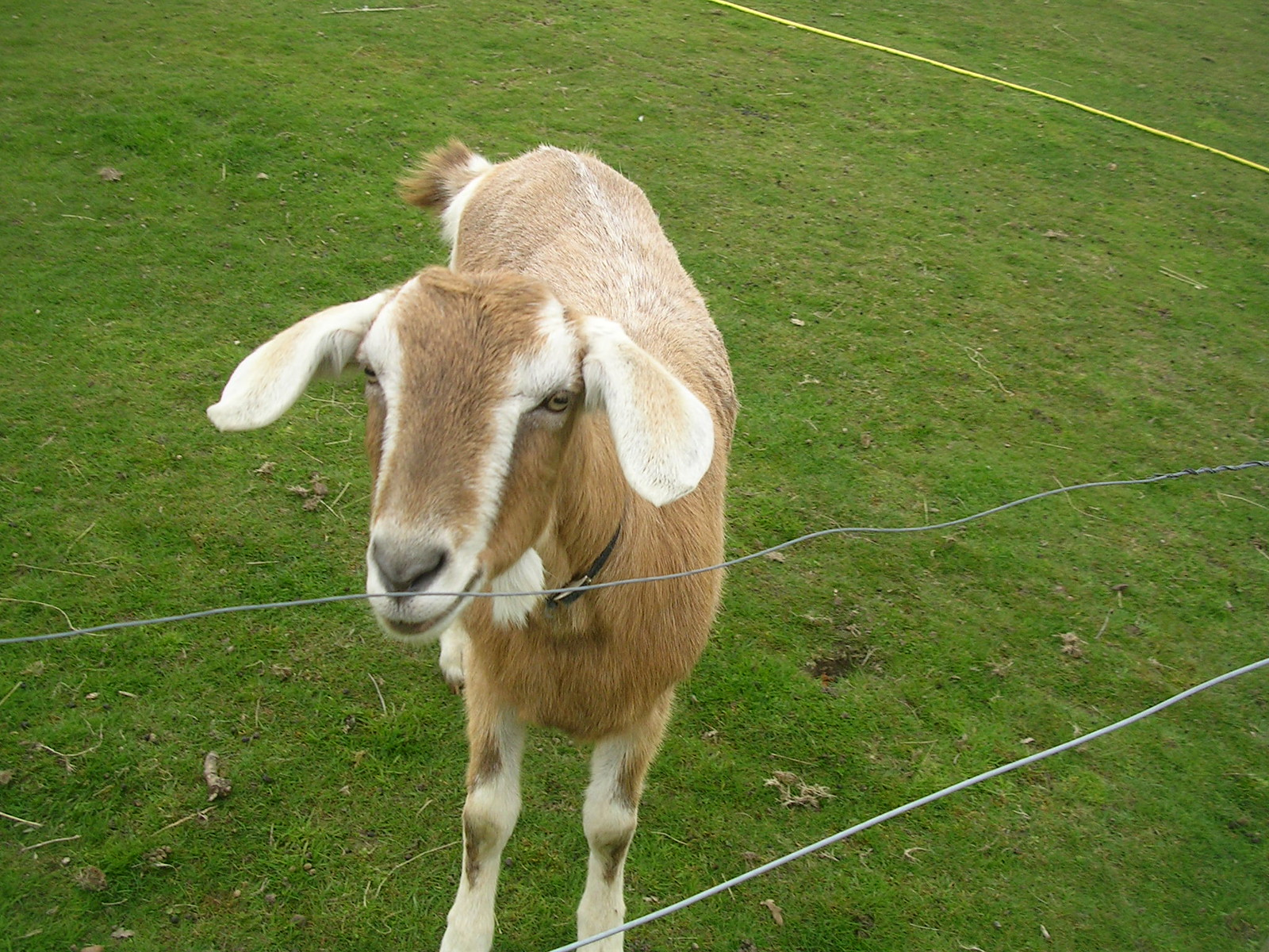 The goat gang Goat B. Manningtree circular