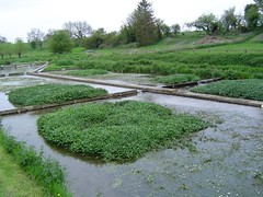 Watercress beds | by Fluffymuppet