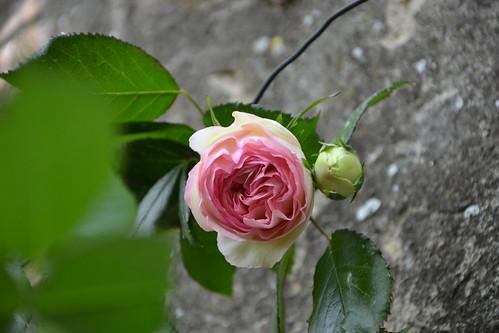 rosier 'Pierre de Ronsard' 32258765573_847a92c2af