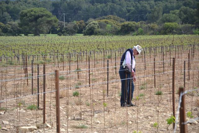 Vitis vinifera - vigne 32943266031_2f63f93e8b_z