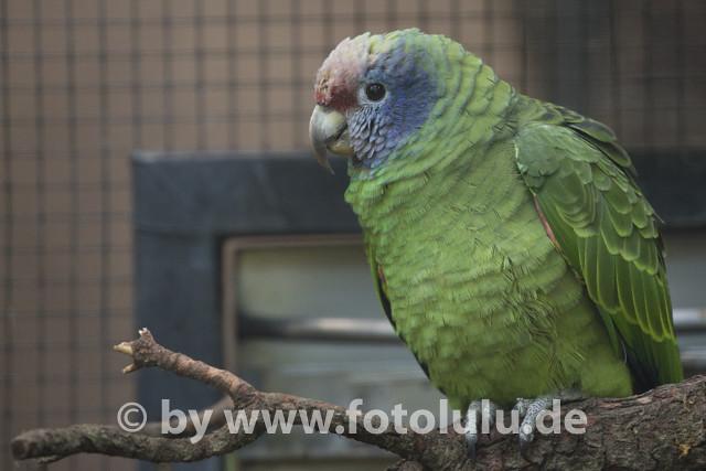 Rotschwanzamazone_Amazona brasiliensis-7