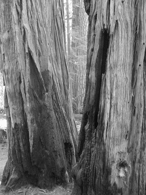 Big trees on the way to Half Dome