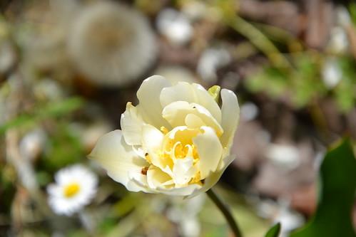 Tulipa - espèces et petits hybrides (sections 12 à 15) 32895827992_63f6b3ba6a
