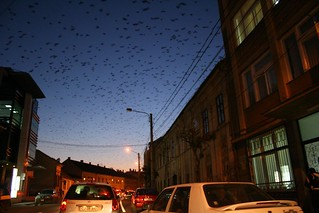 Crows across Cluj | by theophilus_austin