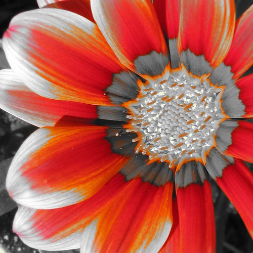Gazania in Red and Orange | by Care_SMC