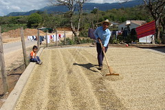 Coffee farmer raking the drying beans