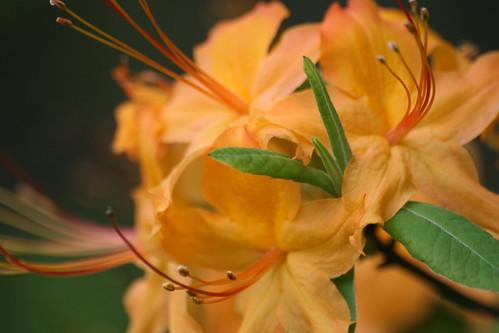 Flame azalea, Rhododendron calendulaceum