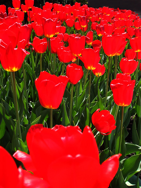 Saturated tulips