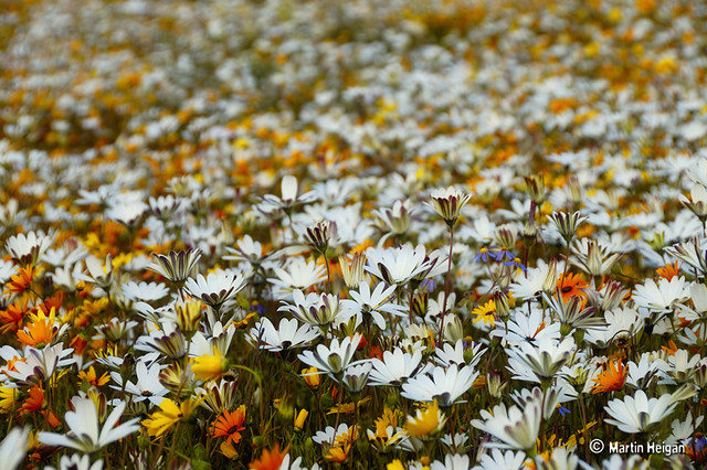 The wild flowers of Clanwilliam