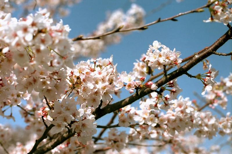 桜さんの蜜 by Noël Café