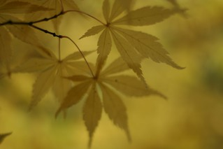 Yellow Acer | by Aeioux