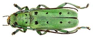Saperda octopunctata (Scopoli, 1772)