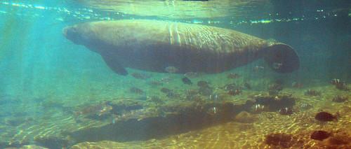 florida manatee fl homosassa thefishbowl homosassafl underwaterviewing floridastateparks homosassaspringsstatepark