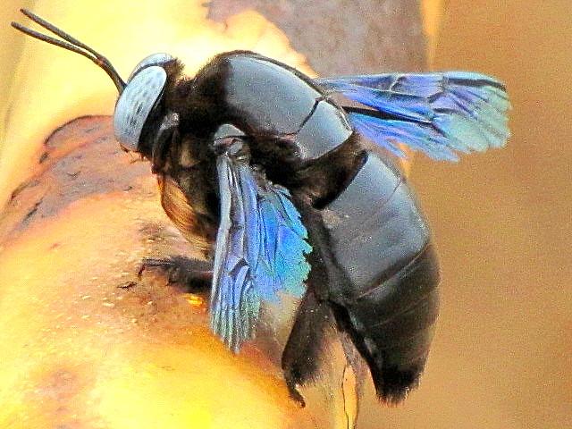 ecosystem/fauna/ Large Carpenter Bee(Xylocopa latipes )
