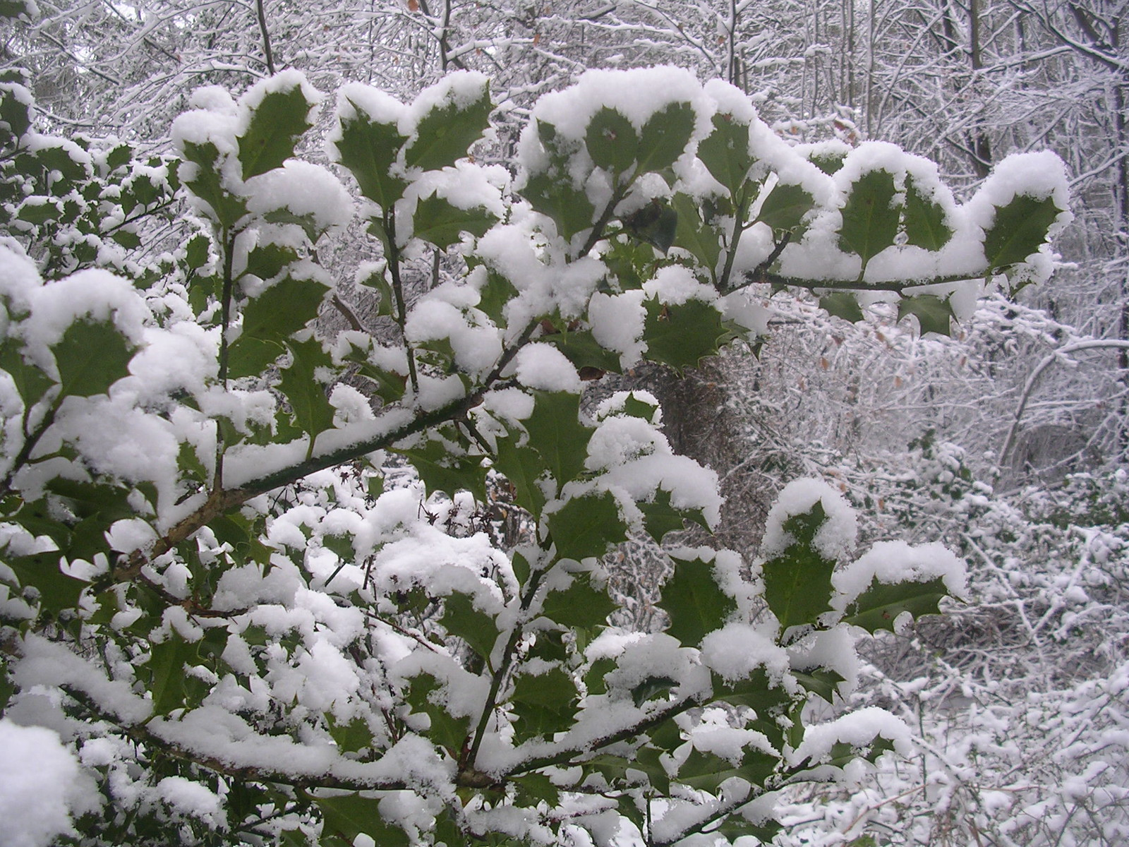 Snow on holly Haslemere Circular (silent walk)