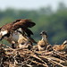 Osprey Chicks in Nest