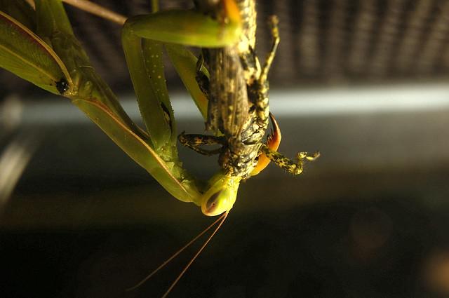 Mantis' Return
