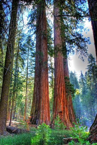 california trees yosemite yosemitenationalpark sequoia hdri morningwood giantsequoia mariposagrove hrd giantredwoods photomatix d80 gianttrees hdrsingleraw nikond80 flickraward flickridol nikonflickraward flickrunitedaward ringexcellence