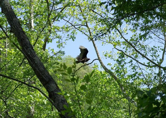Cathartes aura, Angel Falls, Big South Fork, Scott Co, TN