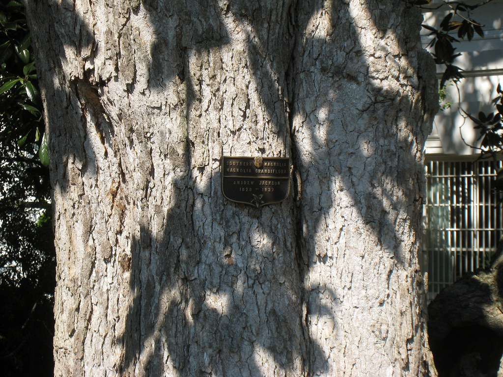 Southern Magnolia Planted By Andrew Jackson Southern Magno Flickr