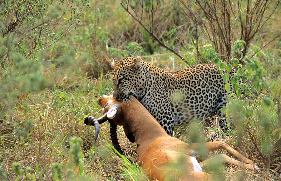 Kenya, leopard on impala kill