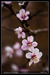 cherry blossom   by Ankhbayar Tumurbaatar