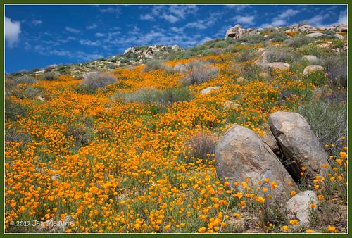 californiapoppy eschscholtziacalifornica orange poppy wildflowers lakeelsinore california unitedstates us