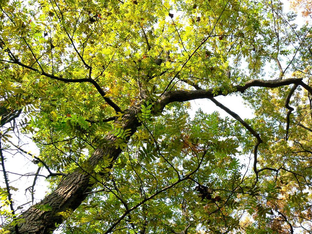 SHINA SAWAGURUMI | Nomenclature; terocarya stenoptera ...