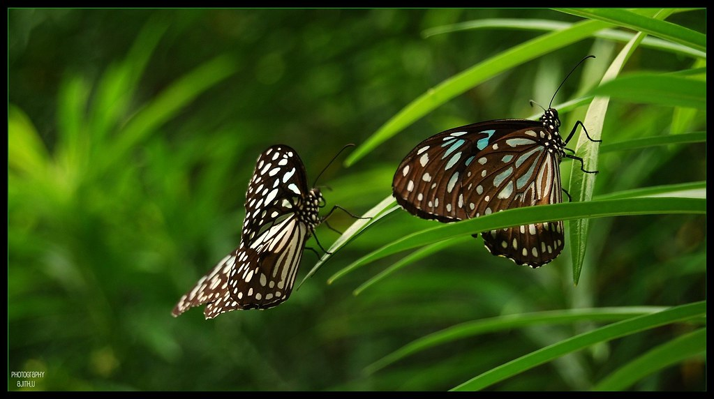 ... Two blue tigers[Explored] - by Ajith (അജിത്ത്)