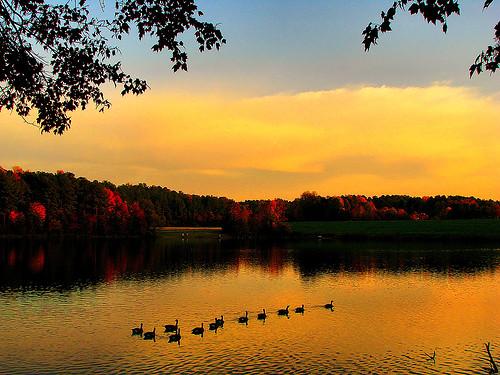 autumn trees sunset sky lake reflection nature water swim landscape golden geese nc branches flock north ducks northcarolina raleigh foliage carolina serene ripples shelley float tranquil dall chrysti shelleylake platinumphoto aplusphoto platinumsuperstar