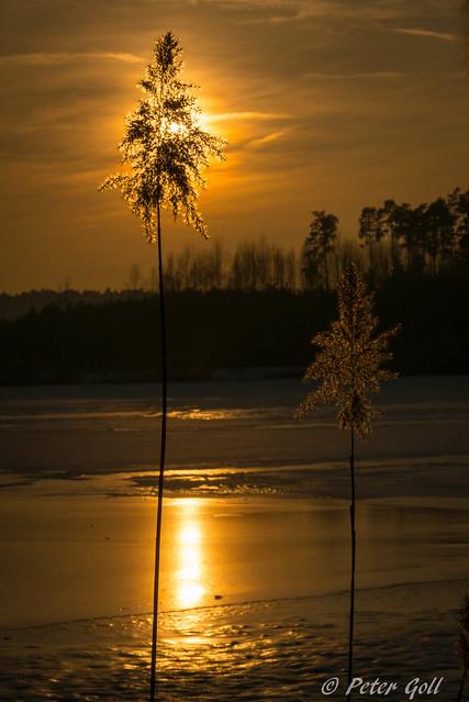 Kleiner Bischofsweiher, Schilfgras im Sonnenuntergang