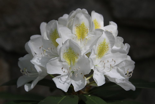 White Rhododendron 2009 | by Jim, the Photographer