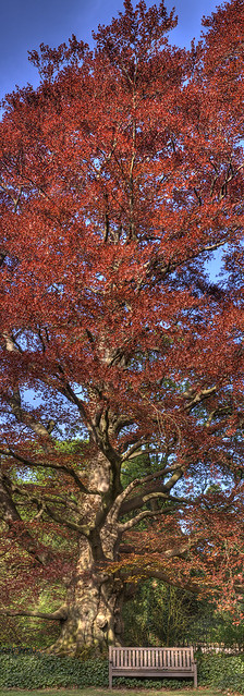 Red Beech Tree