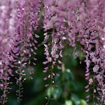 Wisteria violet