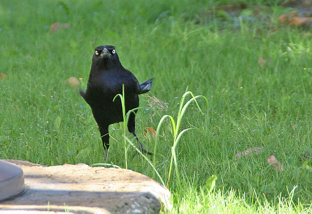 Great-tailed Grackle in Dallas