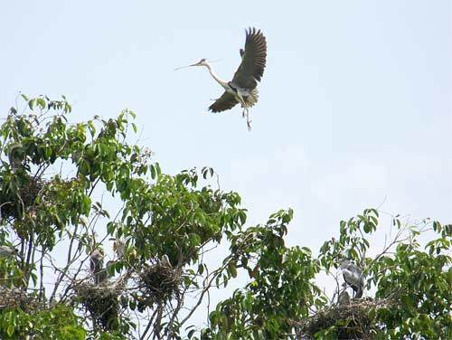 Grey Heron at Taman Tasik | by laloq3