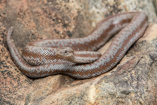 Northern Three-lined Boa | by Jeremy Wright Photography