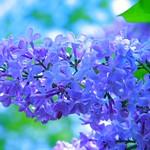 Lilac - Syringa vulgaris 074