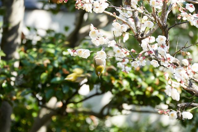 Japanese White Eye - メジロ