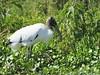 Wood Stork (Mycteria americana) by Gerald (Wayne) Prout
