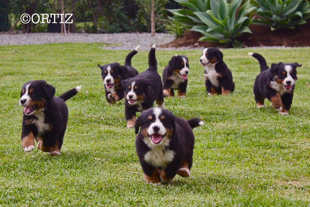 Bernese Mountain Dog Puppies Laura Ortiz Flickr