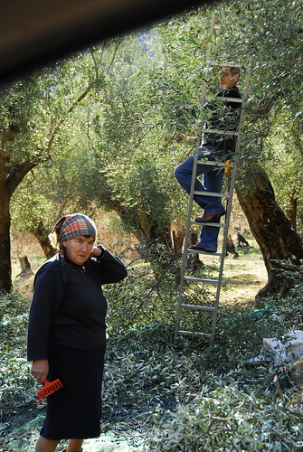 harvesting olives | by oceanaris
