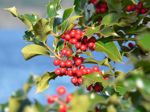 Holly Berries | by molajen