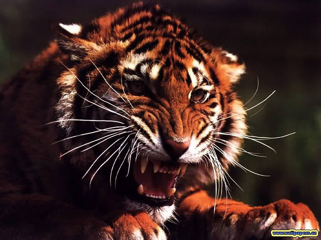 Angry Tiger Wallpaper Cowgirlpfife Flickr