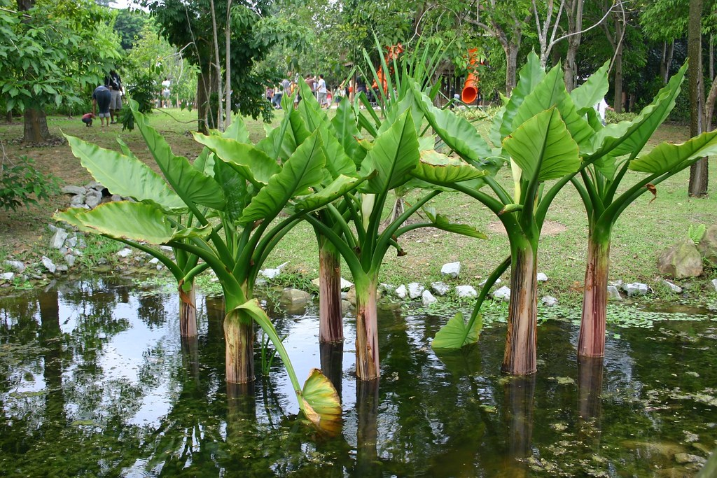 types of water plants; water banana