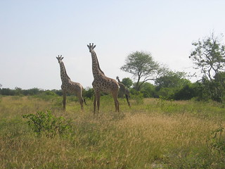 Giraffes tend to hang together in loose groups. These ones have spotted us. | by Globalism Pictures